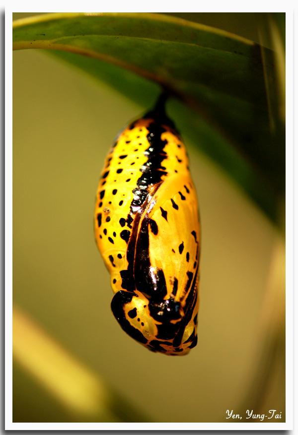 蠶蛹蝶(二)