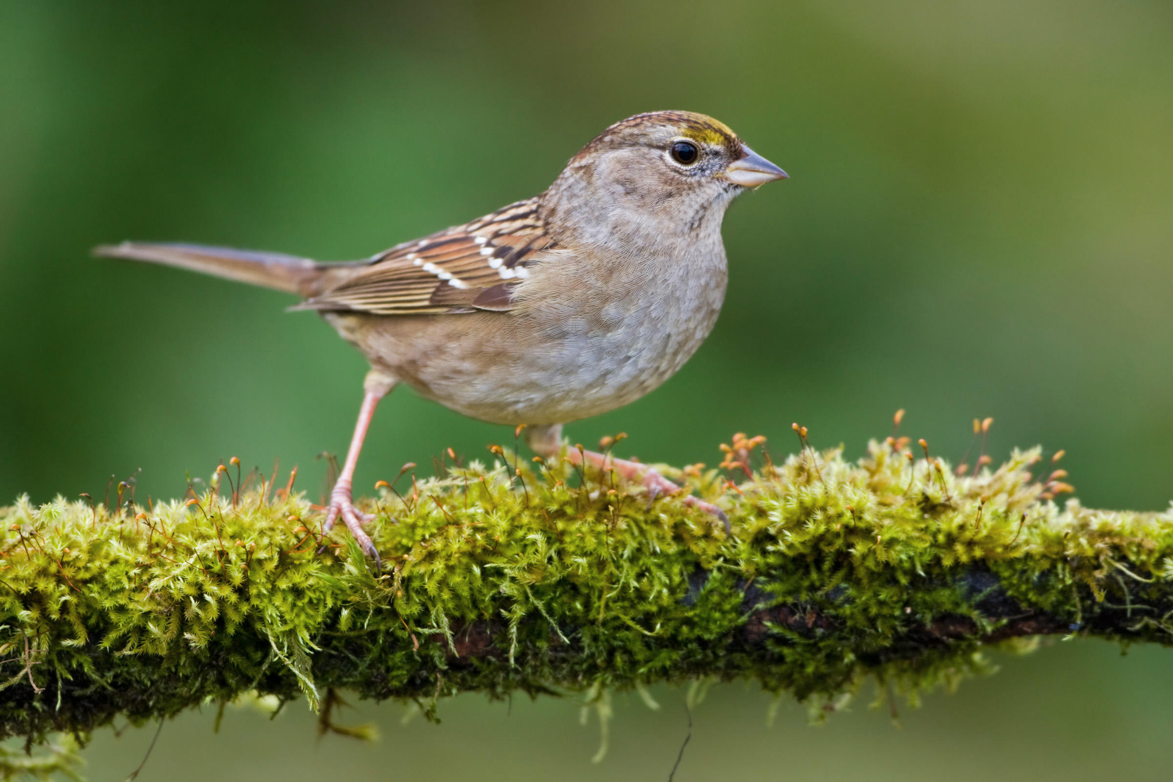 golden-crowned-sparrow-b57-5-114_v