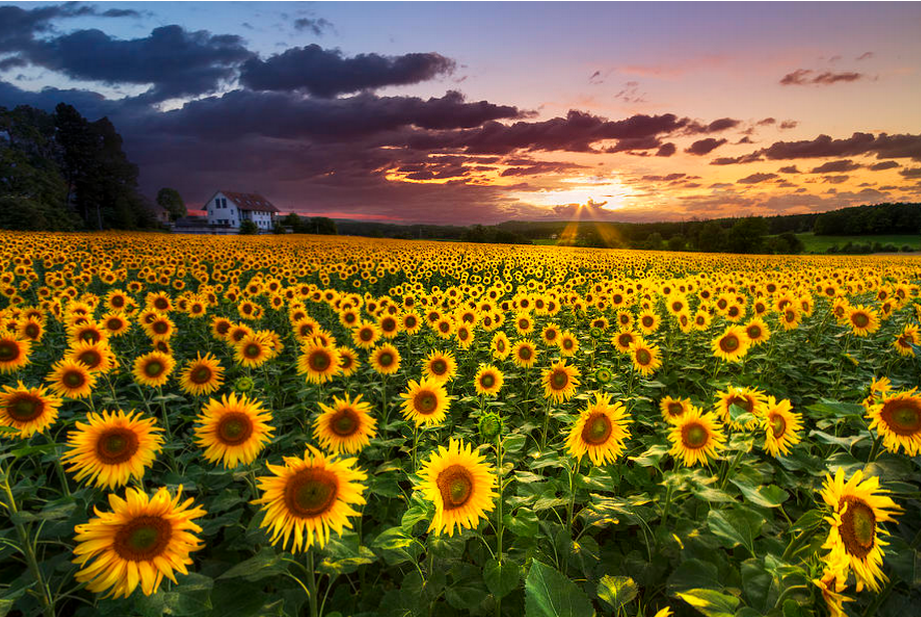 big-field-of-sunflowers