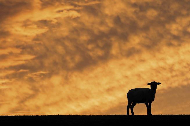 49_wandering-sheep