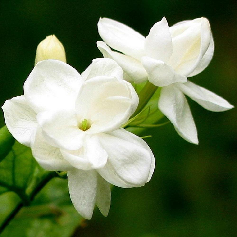White-font-b-Jasmine-b-font-Seeds-font-b-Jasmine-b-font-Flower-Seeds-Fragrant-font