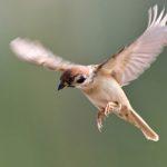B_sparrow